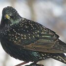 Little starling in NH by maxy