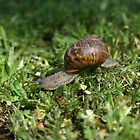 At a Snail's pace by Fireman