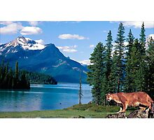 1151-Northwestern Cougar Photographic Print
