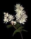 Deutzia Scabra by TheWalkerTouch