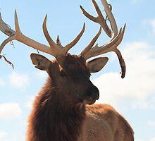 Elk by Gene Praag
