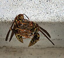 Wasps Building A Nest by CarolM