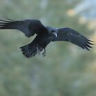 Yosemite Raven Riding the Wind by Paul J. Owen