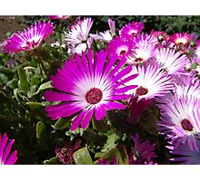 Gazania - Pink Treasure Photographic Print