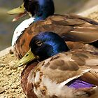Quackers by baldy