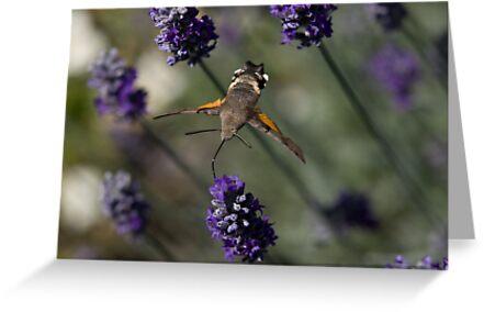 Humming Bird Moth 2 by David Clarke