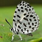 Forest Pierrot by Tony Wong