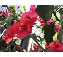 Bouganvillea Flower Photographic Print