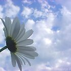 One Single Daisy by sternbergimages