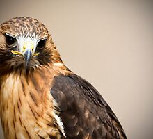 Red Tail Hawk by brianmcgui