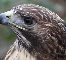 Redtail Hawk portrait by John Wright