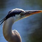 Great Blue Heron - Looking Away by Stephen Beattie