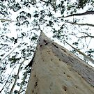 Towering Candlebark - Sinclair's Gully by Harvey Schiller