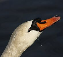 Swan Drinking (please enlarge) by AnnDixon