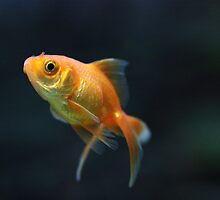 Goldfish by Jonathan Carre