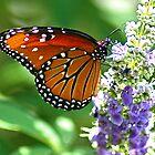 Monarch Butterfly by Ruby  Pen