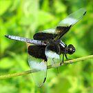 Widow Skimmer Dragonfly by Ginny York