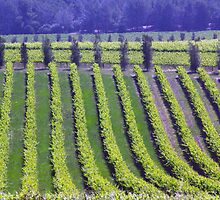 Vineyards seen from d'Arenberg Winery, McLaren Vales, South Australia by John Mitchell