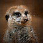 Meerkat... by Ashley Stevens