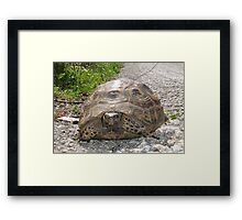 Ibera Greek Tortoise Framed Print