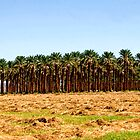 A grove of date palms by Kathy Gonzales