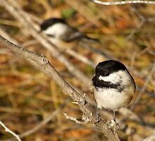 Black Capped Chickadees by Max Buchheit