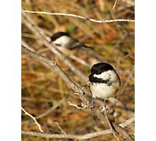 Black Capped Chickadees Photographic Print
