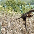 Wedgetail Eagle by thebeachdweller