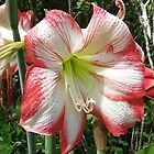 In full bloom by thebeachdweller