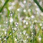 Morning dew drops by Sheri Nye