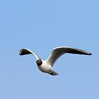 Black Headed Gull  by Neil Ludford