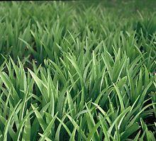 iris leaves by frankbaker