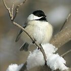 Black Capped Chickadee by whisperjo