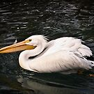 White Pelican by caroleann1947