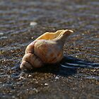 Maketu Shell by Michael Fotheringham Portraits