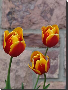 Tulip Trio by May Lattanzio