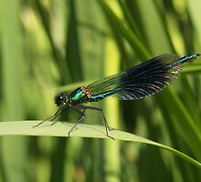 Banded Damselfly by baldy