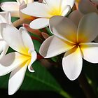 Frangipani Bloom by hdimages