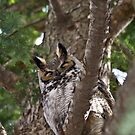Great Horned Owl, Bubo Virginianus by Jason Lee Jodoin