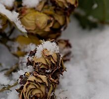 rose in the snow by pmacimagery