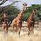 RETICULATED GIRAFFES - SAMBURU by Michael Sheridan