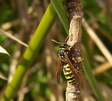 Climbing wasp... by jean-louis bouzou