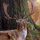 Fallow Stag by Neil Bygrave (NATURELENS)