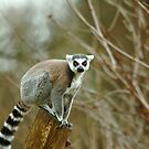 Ring Tailed Lemur Monkey by Franco De Luca Calce