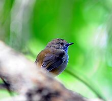 """ Portrait of a Thornbill ""  by helmutk"