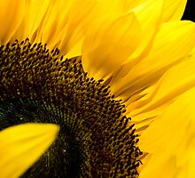 Sunflower by David Bradbury