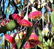Eucalyptus leucoxylon 'Rosea'  by Chris  Willis