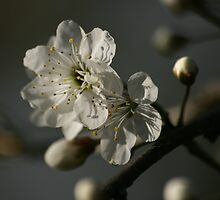 First Blossoms by Pamela Jayne Smith