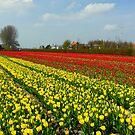Tulip Fields in Holland! by HelmD