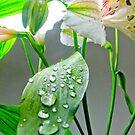 Wet Leaf for a Lilium by Rosalie M